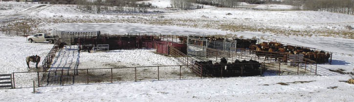 Cattle in a fenced area.