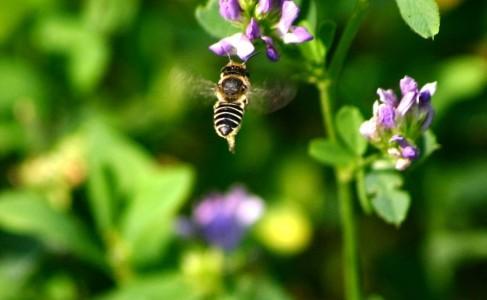 leafcutter bee on alfalfa flower