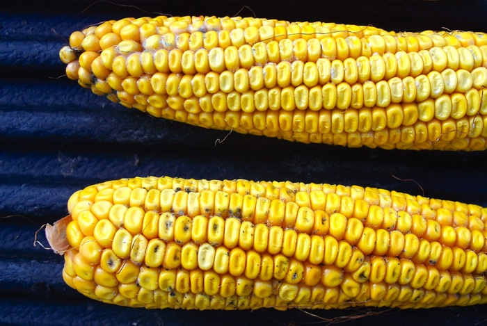 corn cobs with mould growth