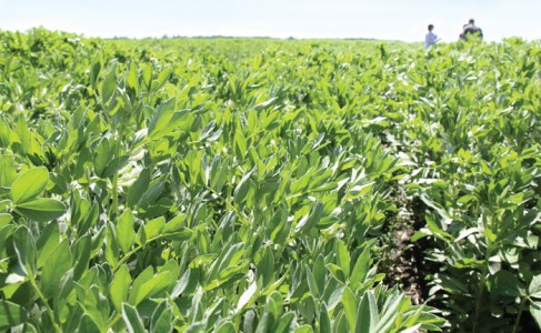 fababean crop