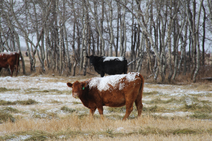 cattle grazing in winter