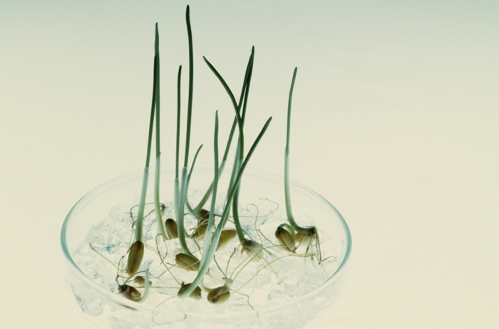 Wheat seedlings growing in Petri dishes