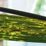 Stripe rust.