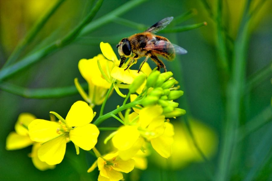 bee on canola flower