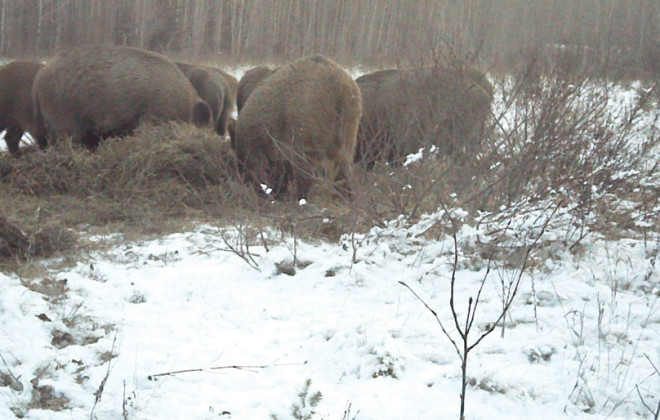 The feral boar issue is a tough problem for many parts of the Prairies, but it's not unsolvable.