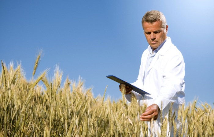 researcher in wheat field