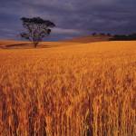 Kiwi secrets to growing record wheat