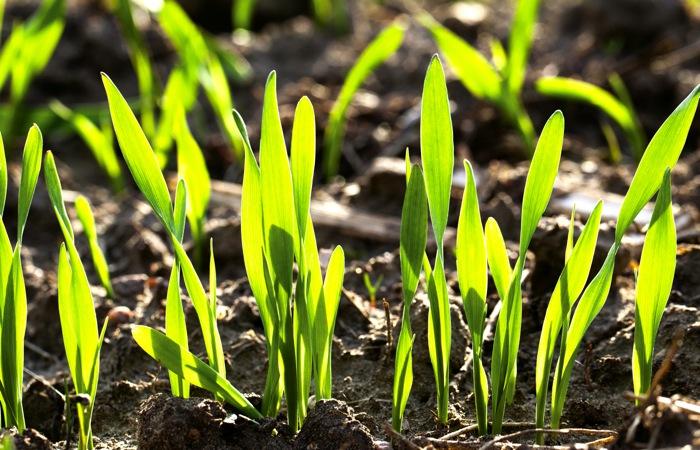 New Wheat crop
