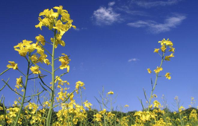 canola flowers