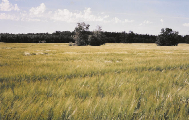 This is a feed barley crop at Spiritwood, Sask., in 1996, on Gray Wooded loam soil. This crop yielded 80 bu./ac. with no fertilizer in the year of seeding.