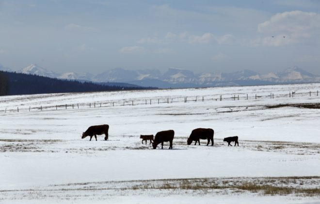 beef on a winter pasture
