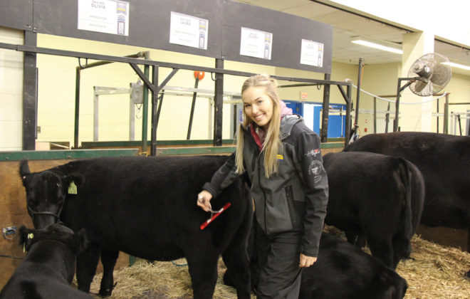 Teresa Mann, general manager for Lakeland College's purebred herd, grooming a heifer at Canadian Western Agribition.