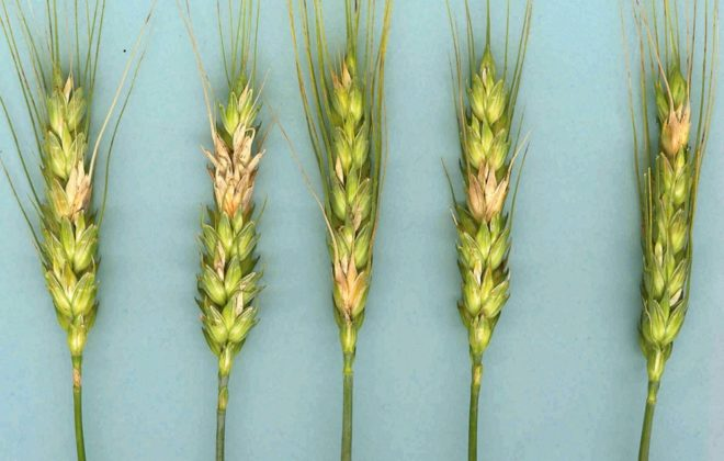 Fusarium infected wheat.