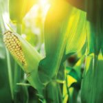 New crops equal new feeding practices