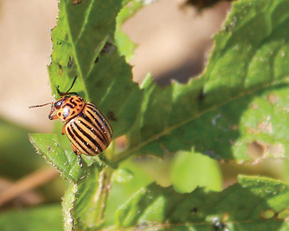 The Colorado potato beetle is considered a major economic pest of potato.