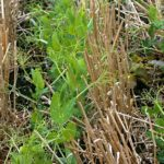 6 strategies to manage weeds in pulse crops