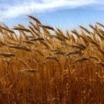 In the modern context, wheat shouldn't be feared, it should be understood.
