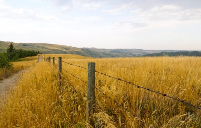 Barbed wire fence through the tall golden grass fields