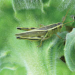 The two-striped grasshopper is a pest. If you have to spray, spray early, since juveniles are easy to kill. But wait until the hatch is finished.
