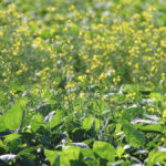 Volunteer canola is increasing its presence in recent weed surveys.