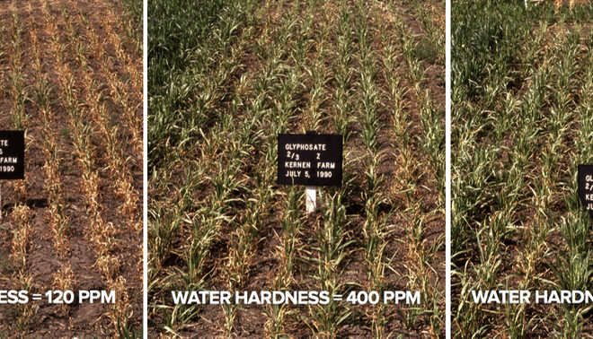 From left to right, these photos show plots were the water hardness is 120 ppm, 400 ppm, then 1200 ppm. Glyphosate has been applied at 2/3 of label rate. Water hardness can take the edge off weed control.