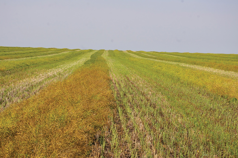 Canola harvest and grain storage