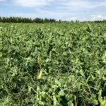 A pea crop soaks up the sun near Ethelton, Sask., on July 30.