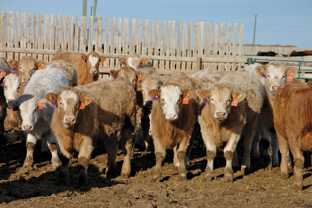 In southern Alberta, Simmental based steers weighing 510 pounds were quoted at $230 in mid-November while black heifers were valued at $195. It's looking like feast-or-famine beef production in early 2020.