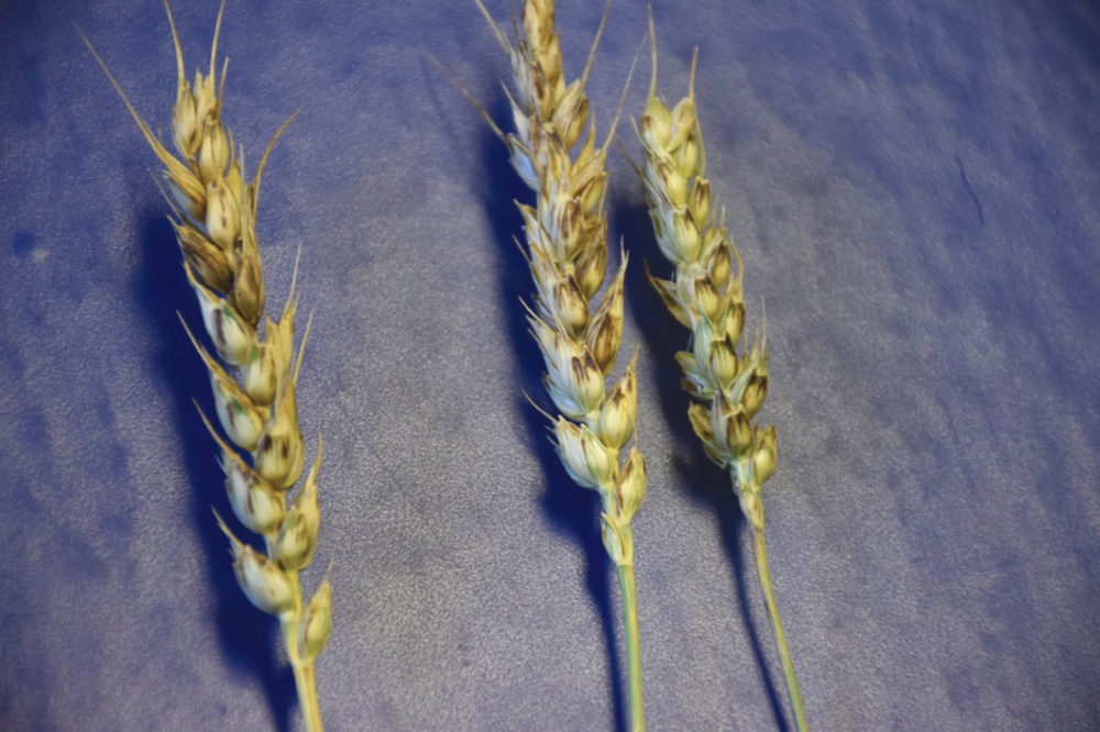 As the wheat matured, some of the wheat heads weren't turning the typical bright yellow but instead were much darker in colour and had striped kernels.