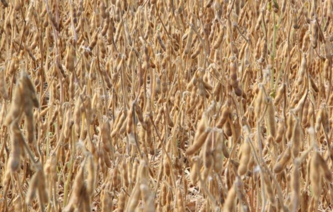 Ripe soybeans near Morden, Man. on Sept. 14, 2017. (Allan Dawson photo)