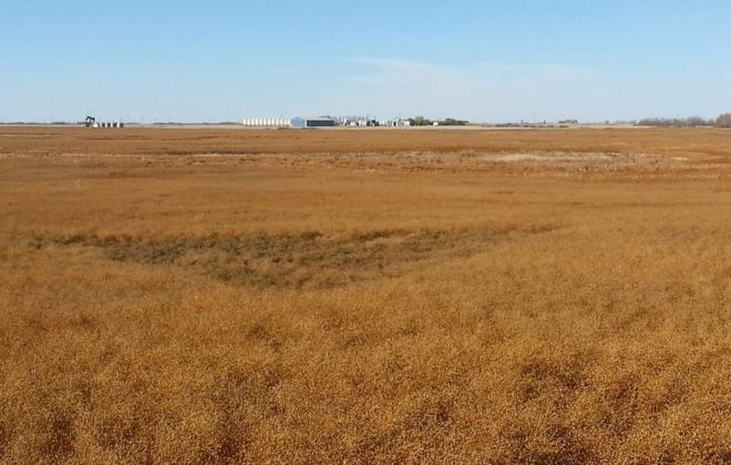 Though some later seeded flax saw some frost damage, oil content in this year's flax crop is averaging between 42 and 45 per cent.  Photo: File