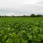 File photo of a tobacco crop in Zimbabwe. (Munya Chawora/iStock/Getty Images)