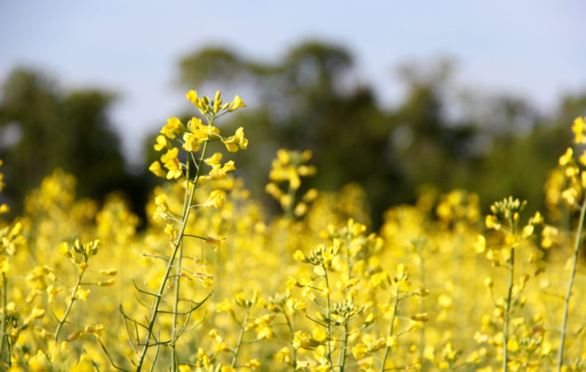Canola is flowering in most areas of Manitoba.  Photo: Greg Berg
