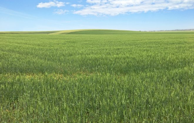 File photo of a durum wheat field in Idaho. (Craig Morris photo courtesy ARS/USDA)