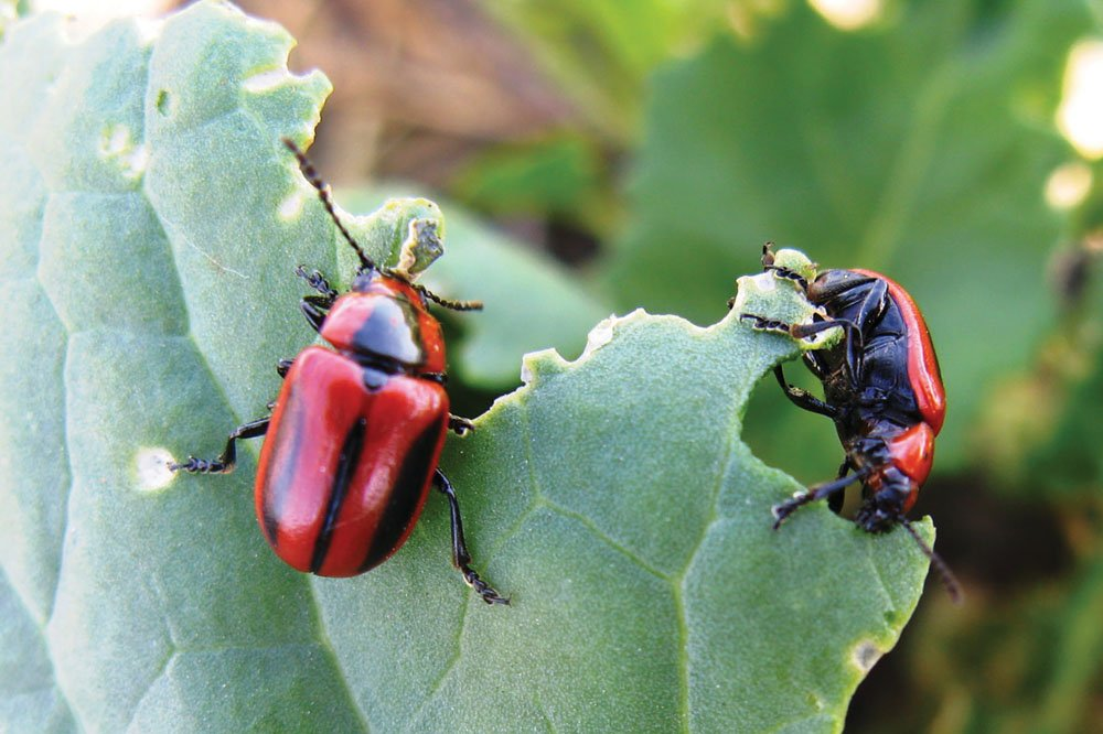 The red turnip beetle is a pest that feeds on cruciferous crops such as canola or mustard.