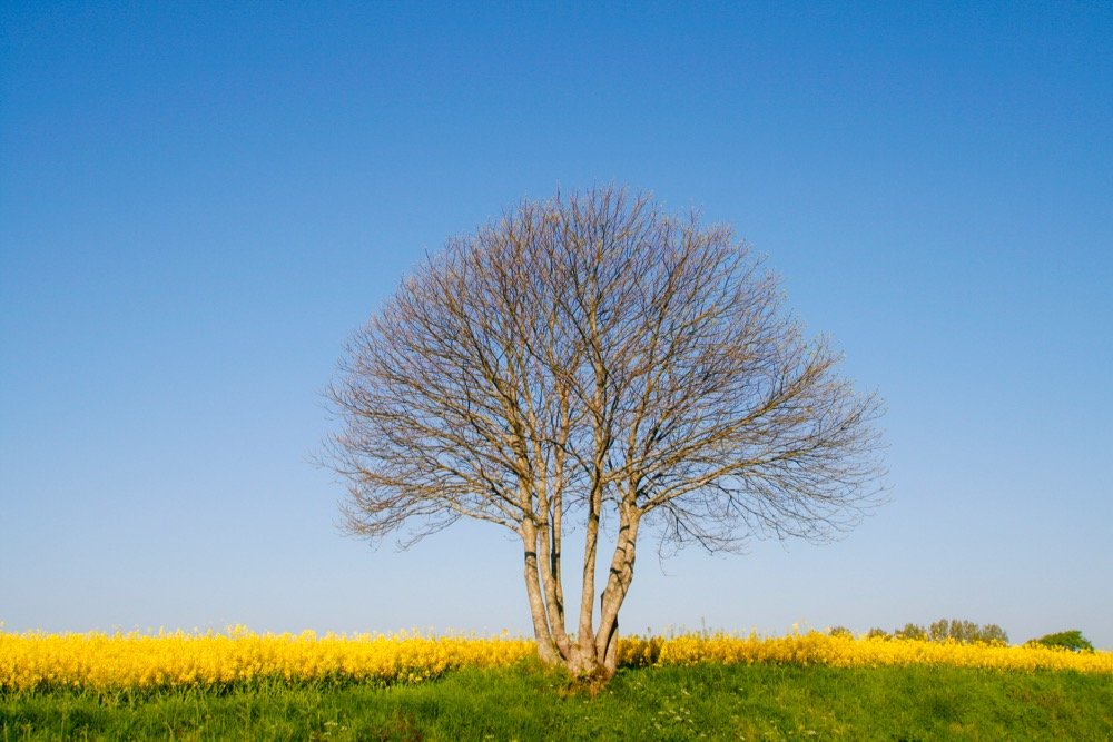 File photo of a canola field in northern France's Normandy region. (Brasil2/iStock/Getty Images)