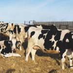 Faraway dry cow program provides important break