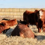 All these yearling Simmental bulls look pretty good. How do you know which will work the best for your beef operation?