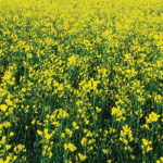 What to look for when staging canola and flax crops