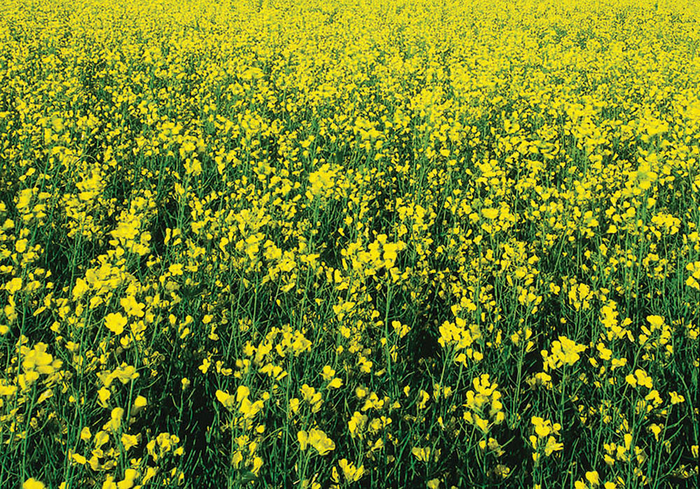 In oilseed crops like canola, 
