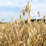 Want to plant oats in 2020? Here's how to improve your yields