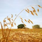 How to get top dollar for your oat crop