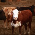 Cattle market absorbs recessionary factors