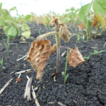 Producers should also be on the lookout for phytophthora root rot in soybeans.