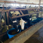Dog days of summer can still produce heat stress in dairy cattle