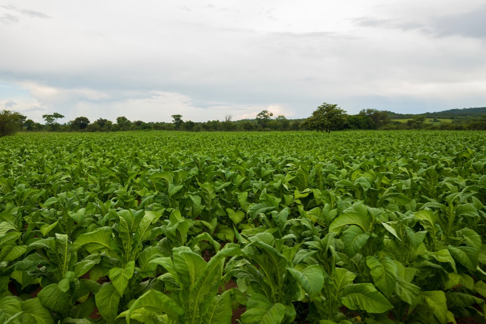 File photo of a tobacco crop in Zimbabwe. (Munya Chawora/iStock/Getty Images)