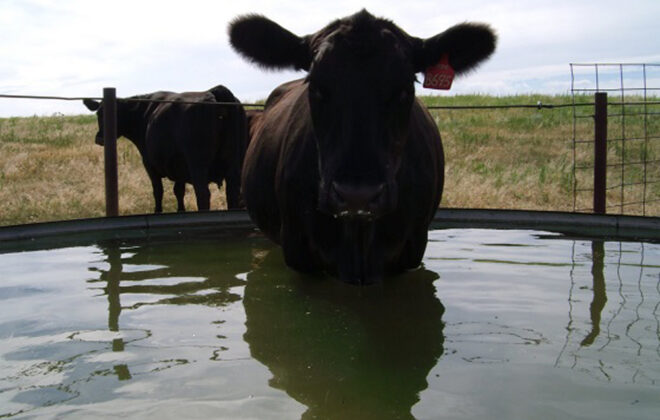 Don't underestimate the value of provide cattle with good quality water.