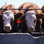Key factors that influence feeder cattle prices