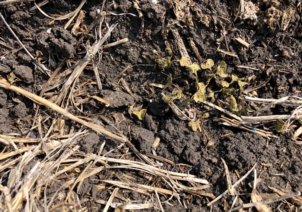 Lots of seeds had germinated but failed to emerge from the soil. In some places, the plants had managed to emerge, but only their stems remained above ground.