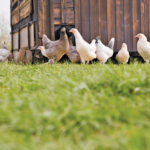 Fowl play in the free-range poultry industry